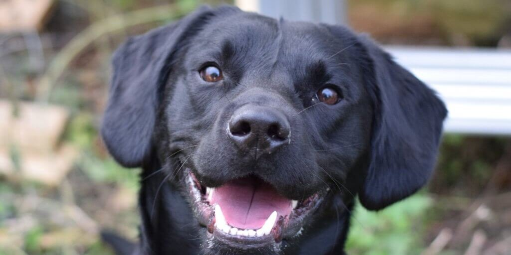 headshot of a black labrador